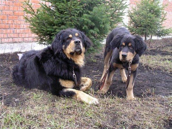 Бурят-монгольский волкодав (хотошо): описание и характеристика породы