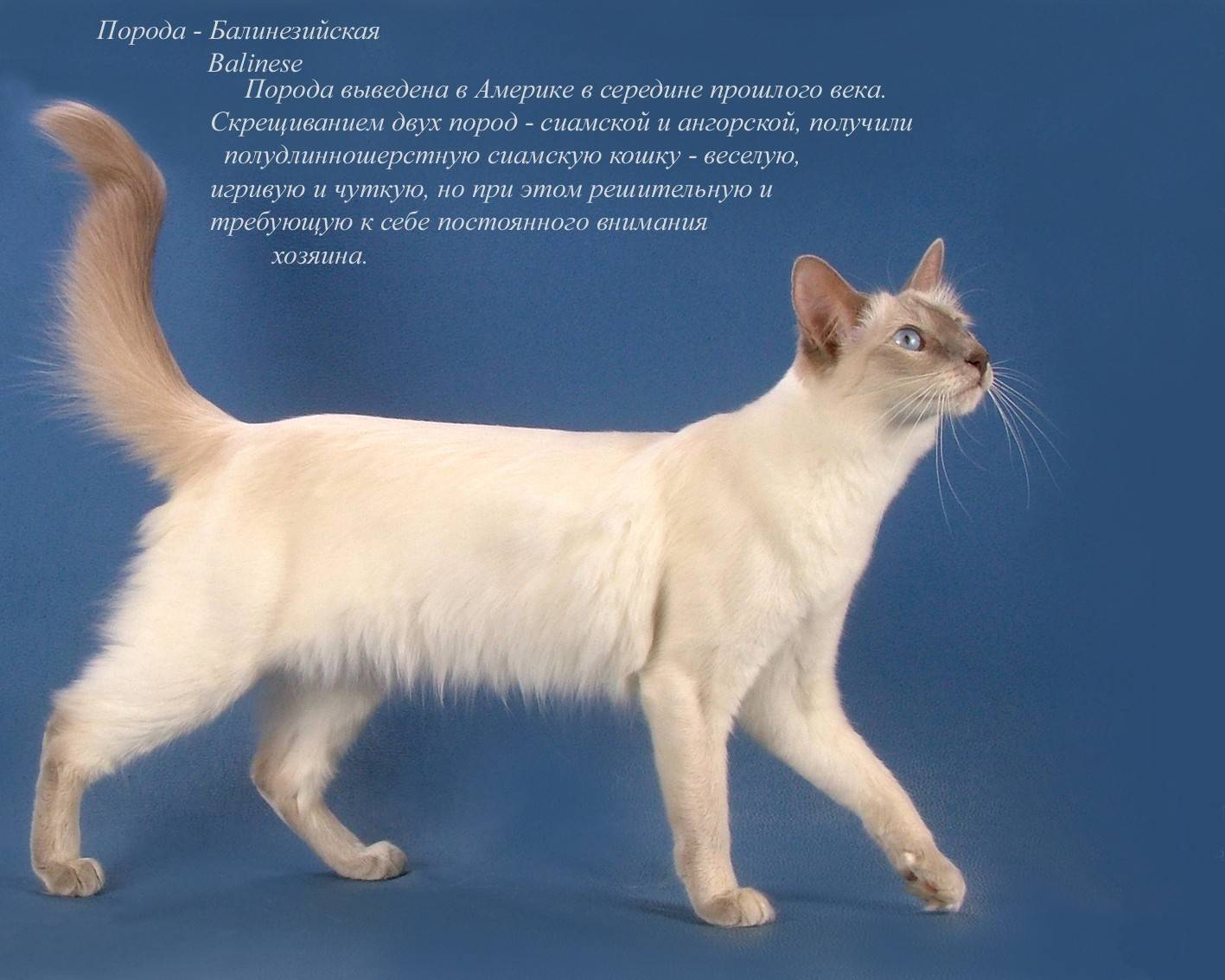 Европейская короткошерстная кошка (кельтская гладкошерстная)