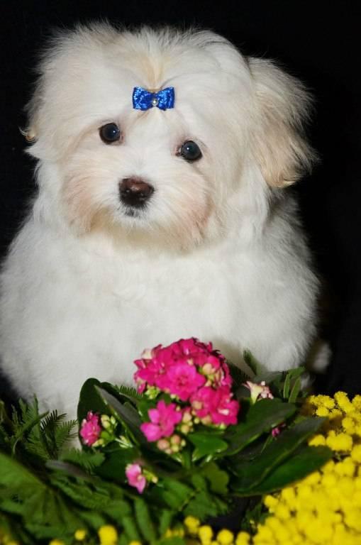 Декоративные породы собак с фотографиями и названиями - описание лучших комнатных пород маленьких размеров и их характеристики на сайте лапы и хвост.