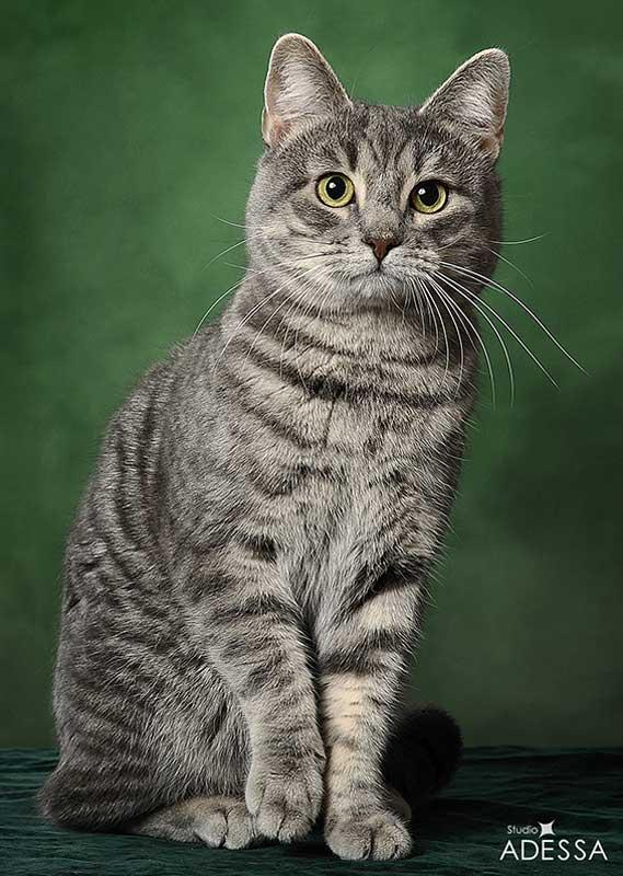 Европейские кошки: характеристика, выбор и правила ухода