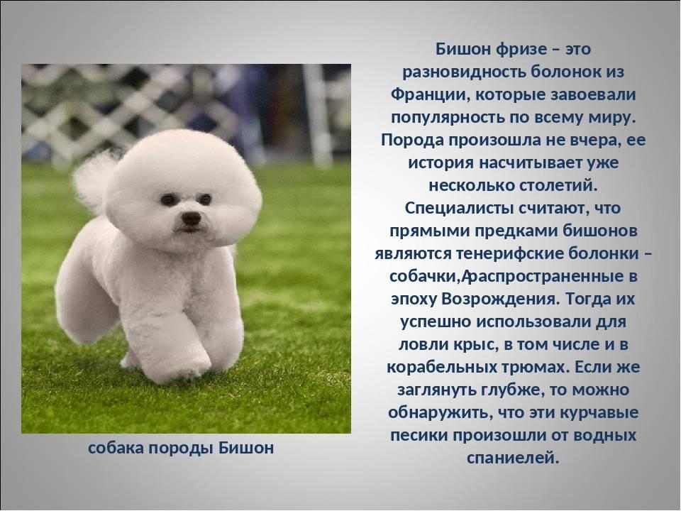 Бишон фризе - рекомендации по уходу и содержанию декоративной собаки. правила ухода за шерстью