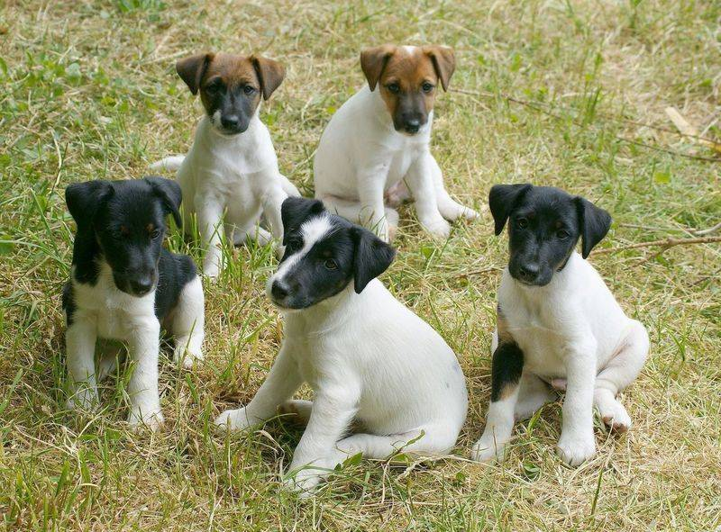 Фокстерьер собака. описание, особенности, уход и цена фокстерьера