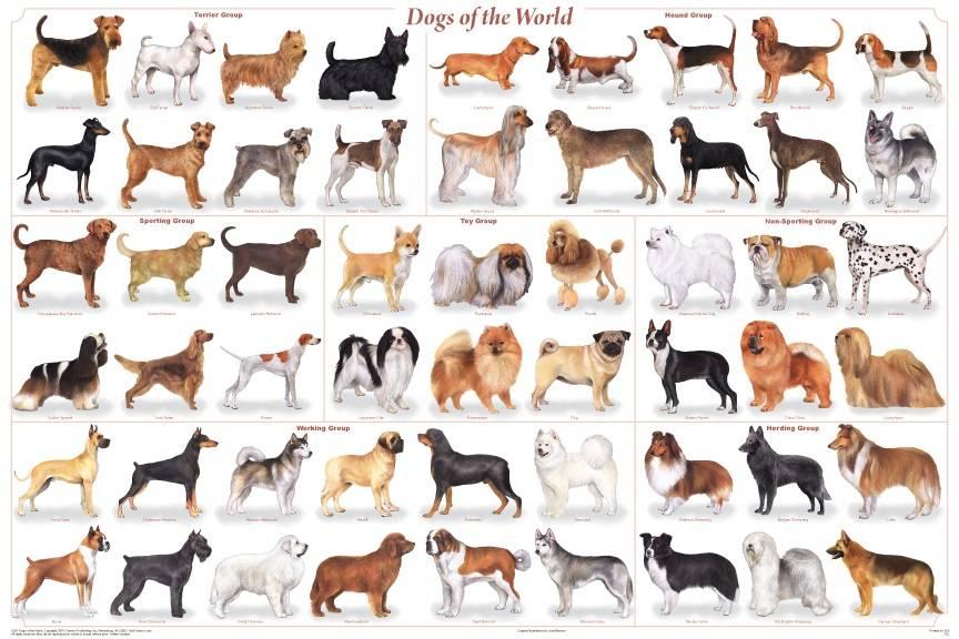 Средние породы собак для квартиры | домашние средних размеров