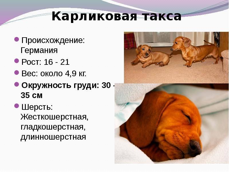 Собака такса: полная характеристика породы, 6 минусов