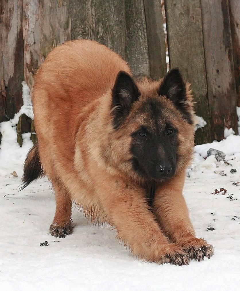 Лакенуа бельгийская овчарка: где купить щенка, содержание и уход, фото породы