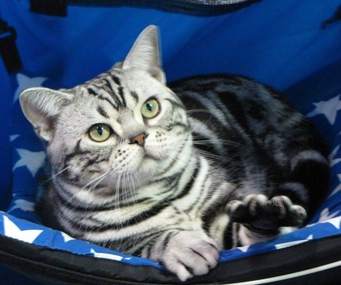 Американская короткошёрстная кошка: фото, описание, характер, содержание, отзывы
