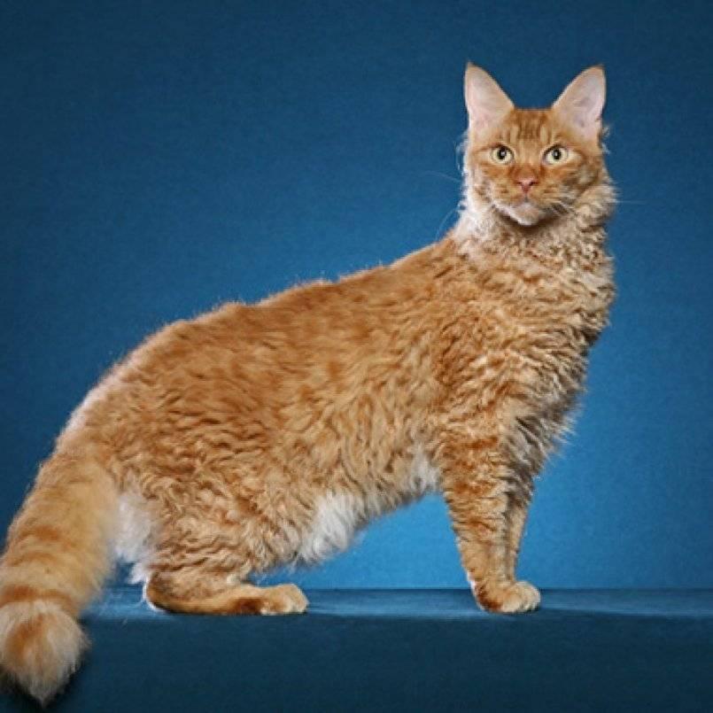 Лаперм - фото и описание породы кошек (характер, уход и кормление)