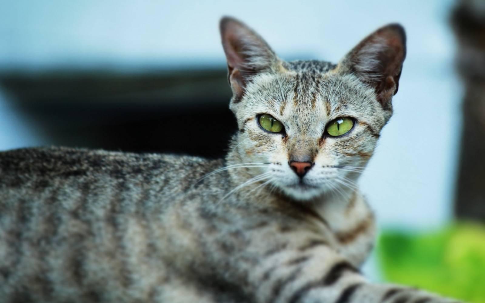 Египетская кошка мау. особенности, образ жизни и уход за египетской кошкой мау | животный мир