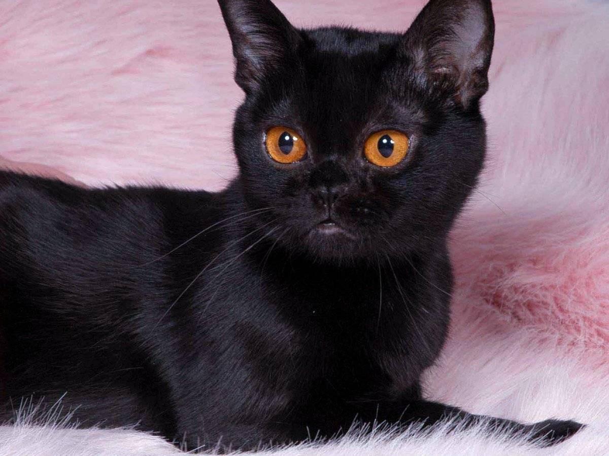 Бомбейская кошка: подробное описание, фото, купить, видео, цена, содержание дома