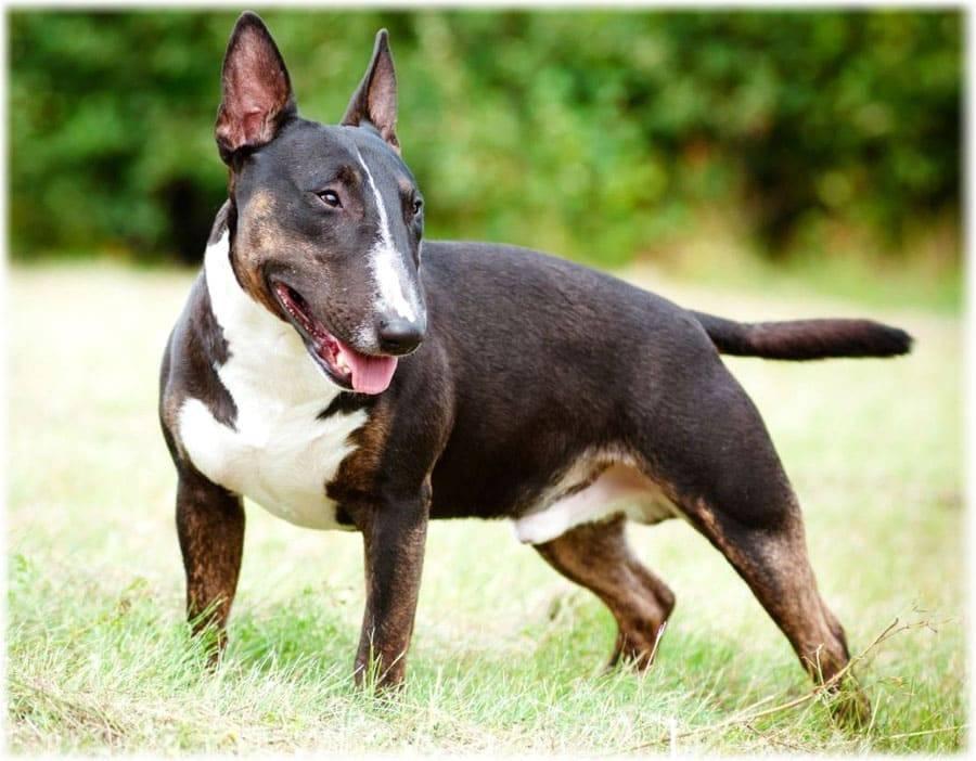 Энтлебухер зенненхунд: все о собаке, фото, описание породы, характер, цена