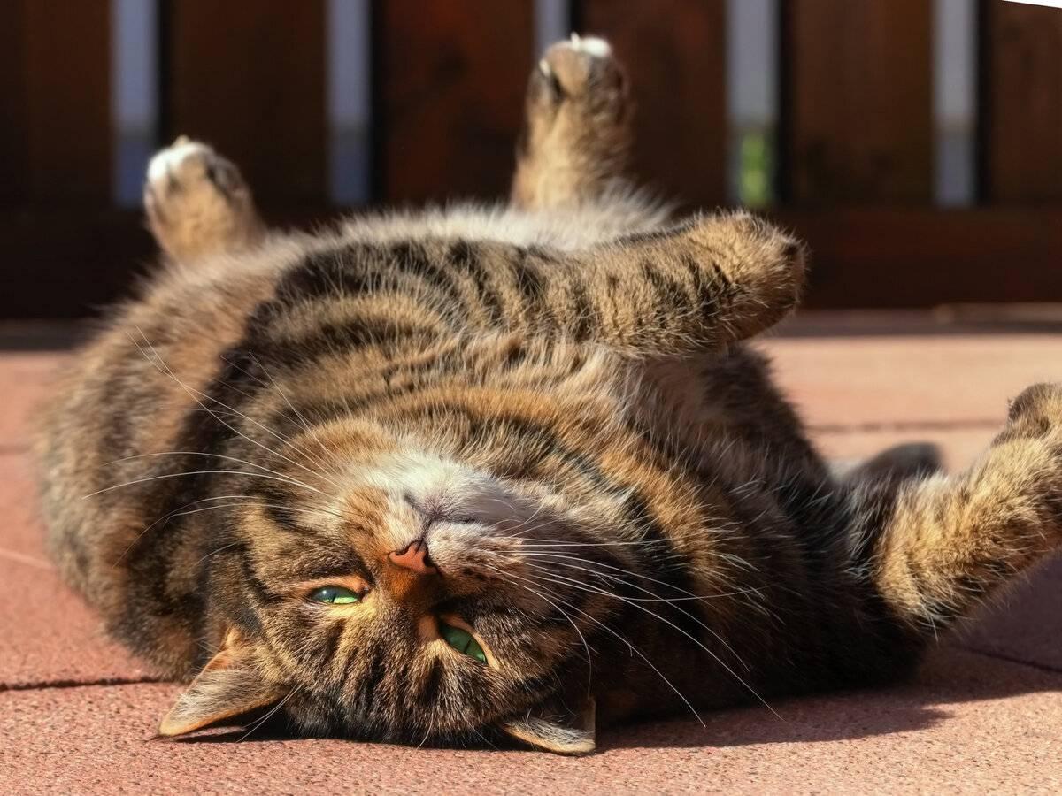 Кошка лежит на спине раздвинув задние лапы