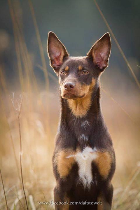 Порода собак австралийский келпи — описание австралийской овчарки