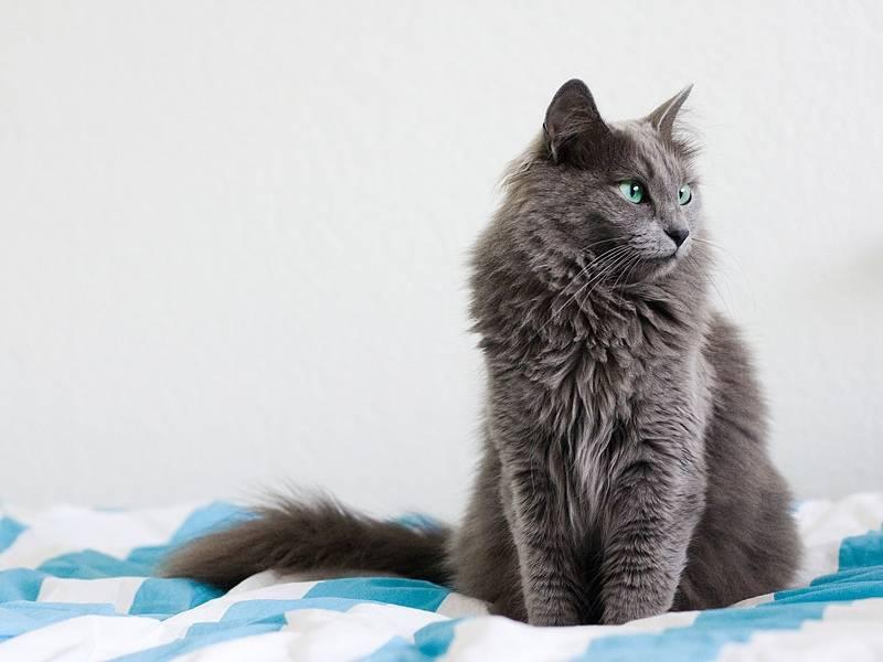 Нибелунг - фото и описание породы кошек (характер, уход и кормление)