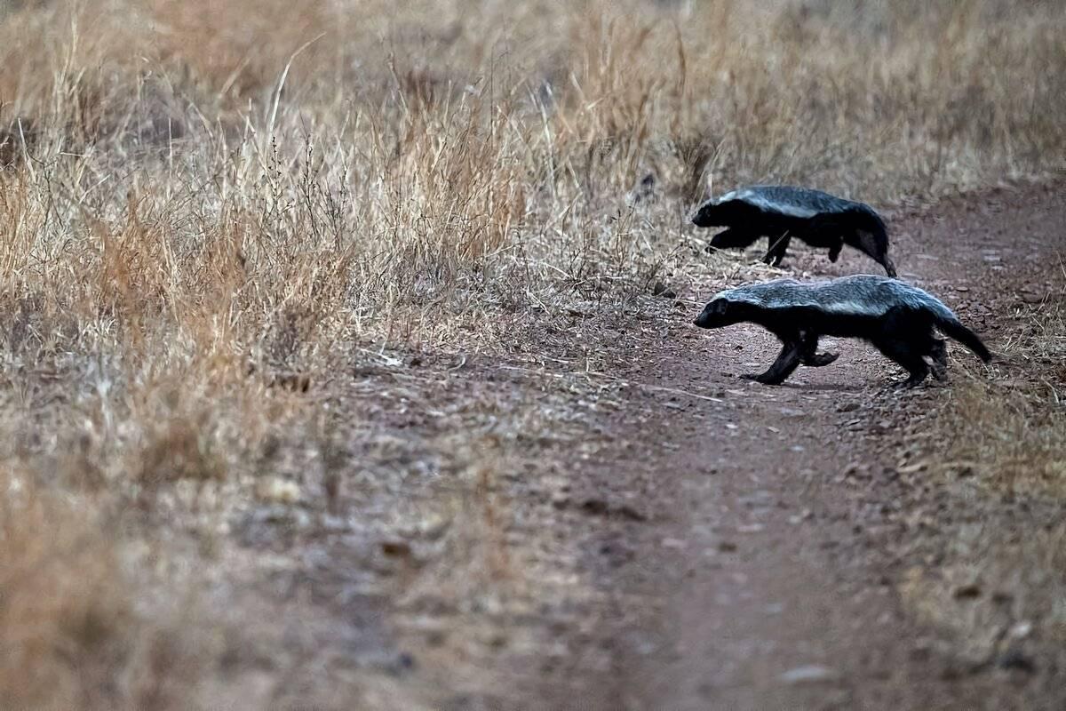Росомаха – животное байкала с безжалостным нравом