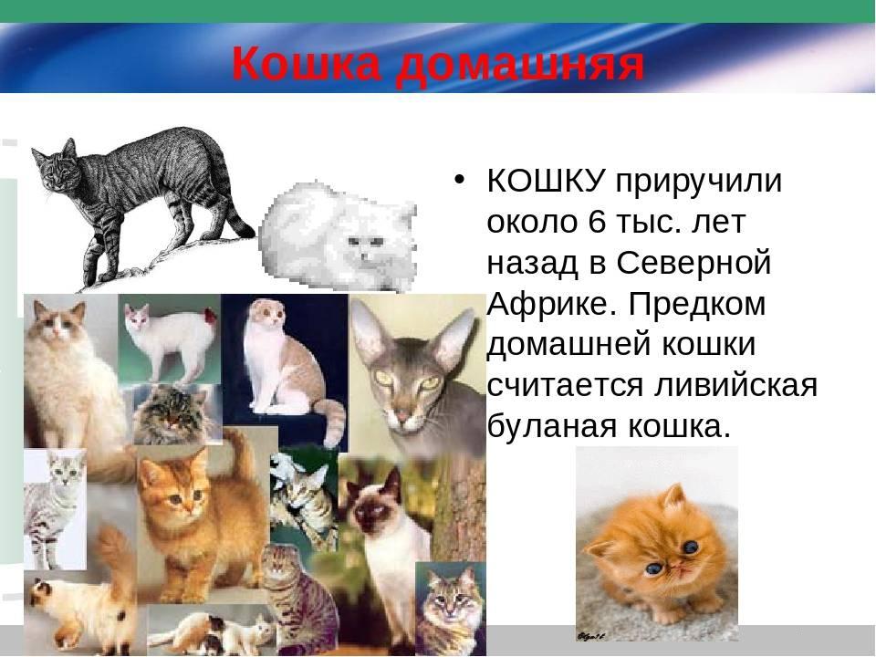 Дикий лесной кот, пра-пра-пра... дедушка всех наших васек и мурок - ареал обитания, подвиды, образ жизни, рацион, размножение, возможность приручения