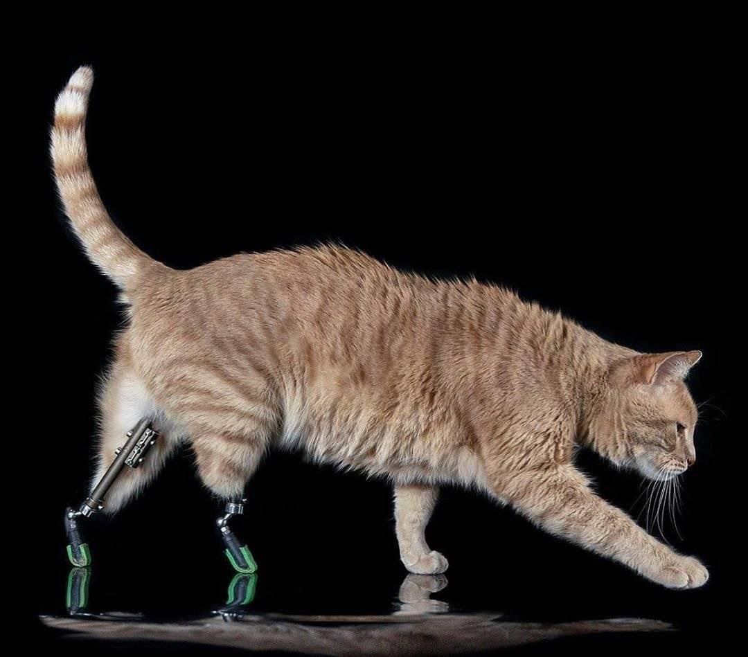 Кошка хромает на задние лапы без видимых повреждений, что делать