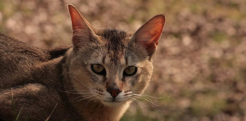 Кошки породы чаузи: описание и особенности содержания