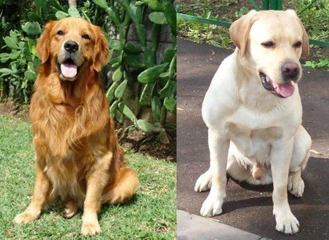 Золотистый ретривер: отличия от лабрадоров, сходства между двумя породами