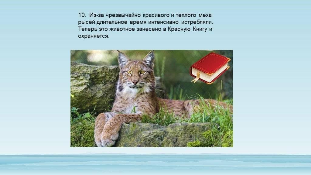 20 любопытных фактов про рысь - world facts