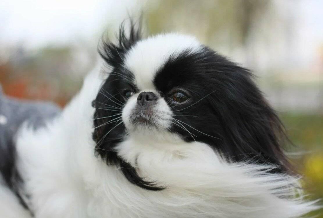 Японский хин – милая и добрая собака для тех, кому нужен хороший друг