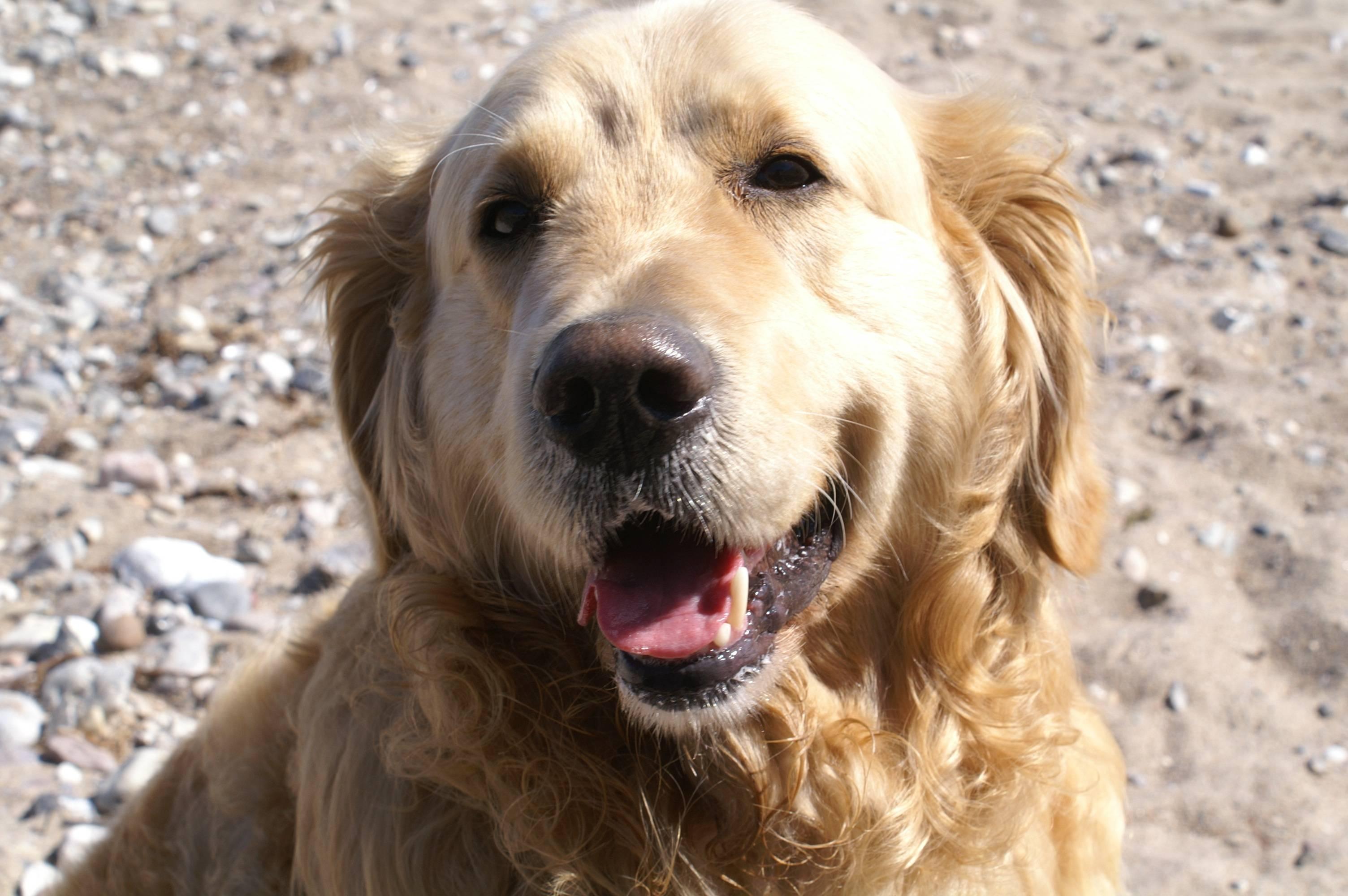 Ховаварты на урале, описание собак породы ховаварт, питомник щенков