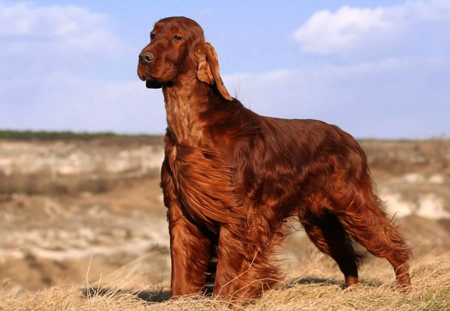 Ирландский сеттер — порода собак