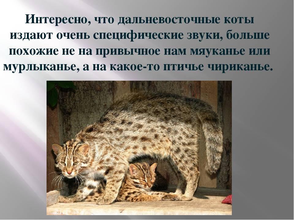 Дальневосточный лесной кот: фото и описание, среда обитания