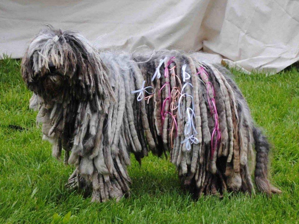 Венгерская овчарка или комондор(командор собака): фото породы ицена