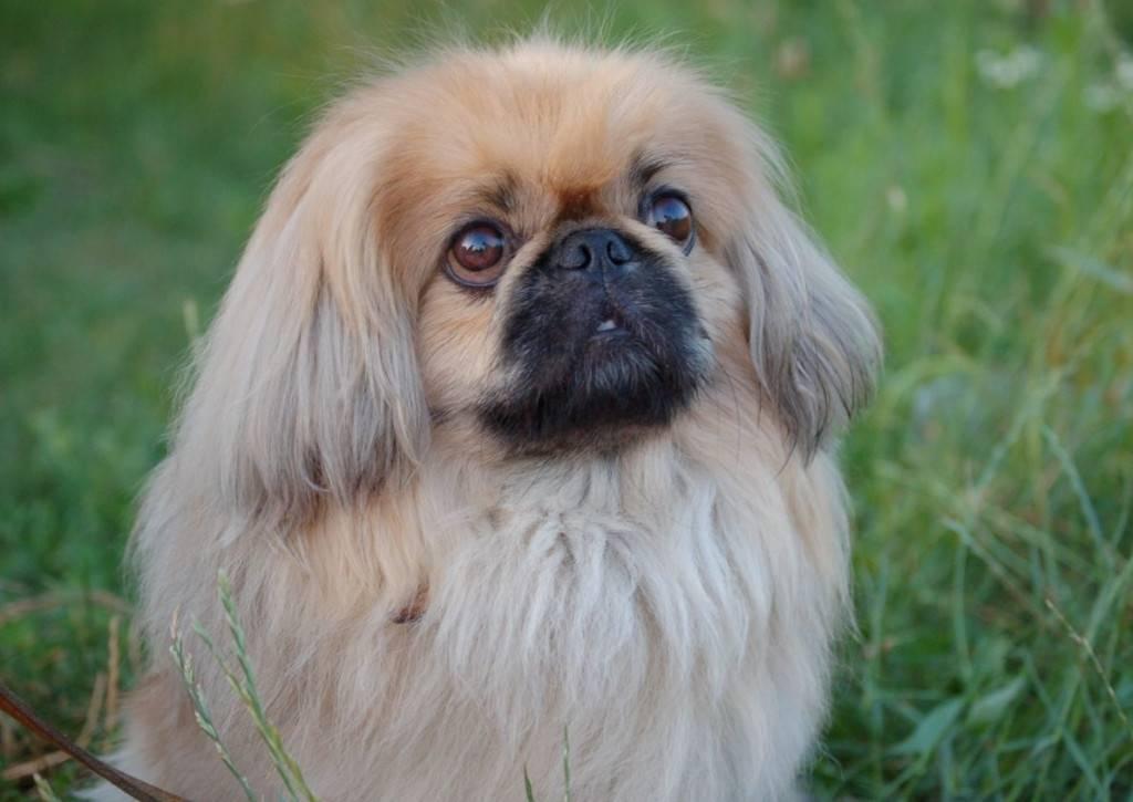 Пекинес: описание породы, фото и уход, характер собаки