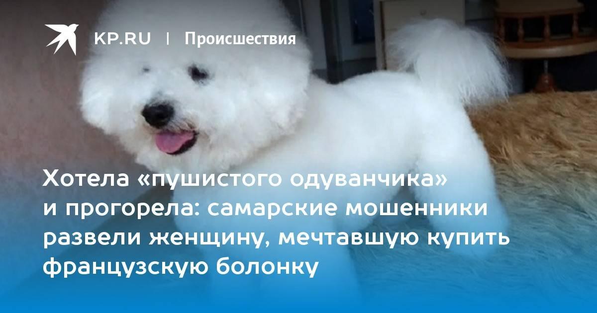 """Выбираем щенка бишон фризе — обсуждение в группе """"бишон фризе""""   птичка.ру"""