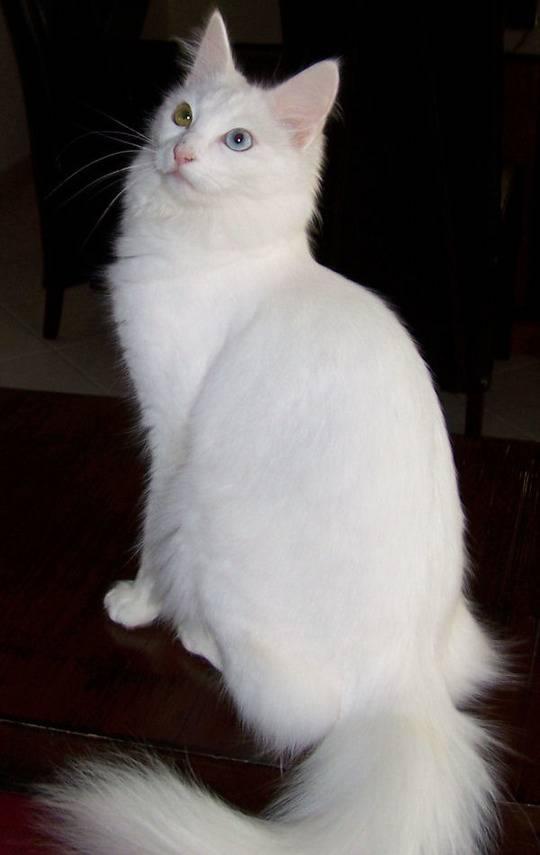 Особенности кошек породы турецкая ангора: все о внешности и характере