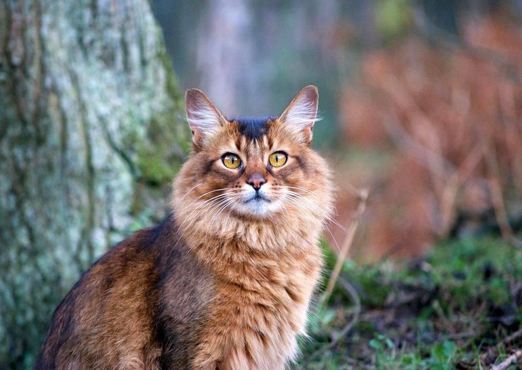 Кошка сомали – особенности характера животных и рекомендации по уходу