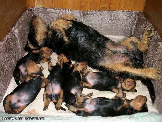 В каком возрасте отдают щенков в новый дом?