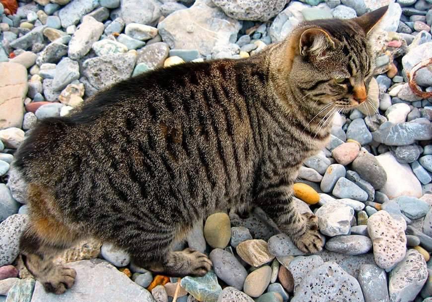 Порода кошек и котов с коротким хвостом