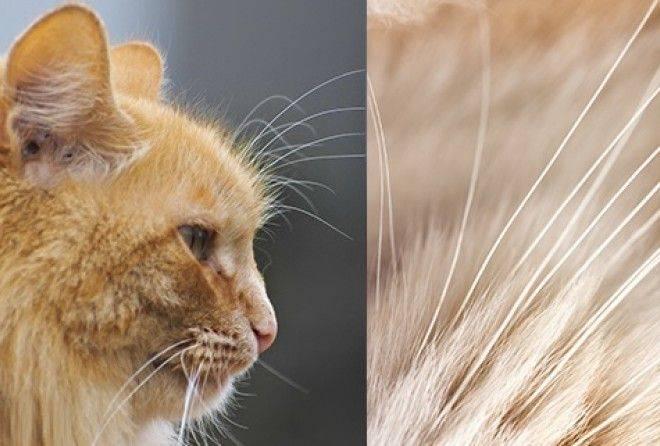 Почему у кота выпадают усы, что делать и как. у кошки выпадают усы, причины выпадения