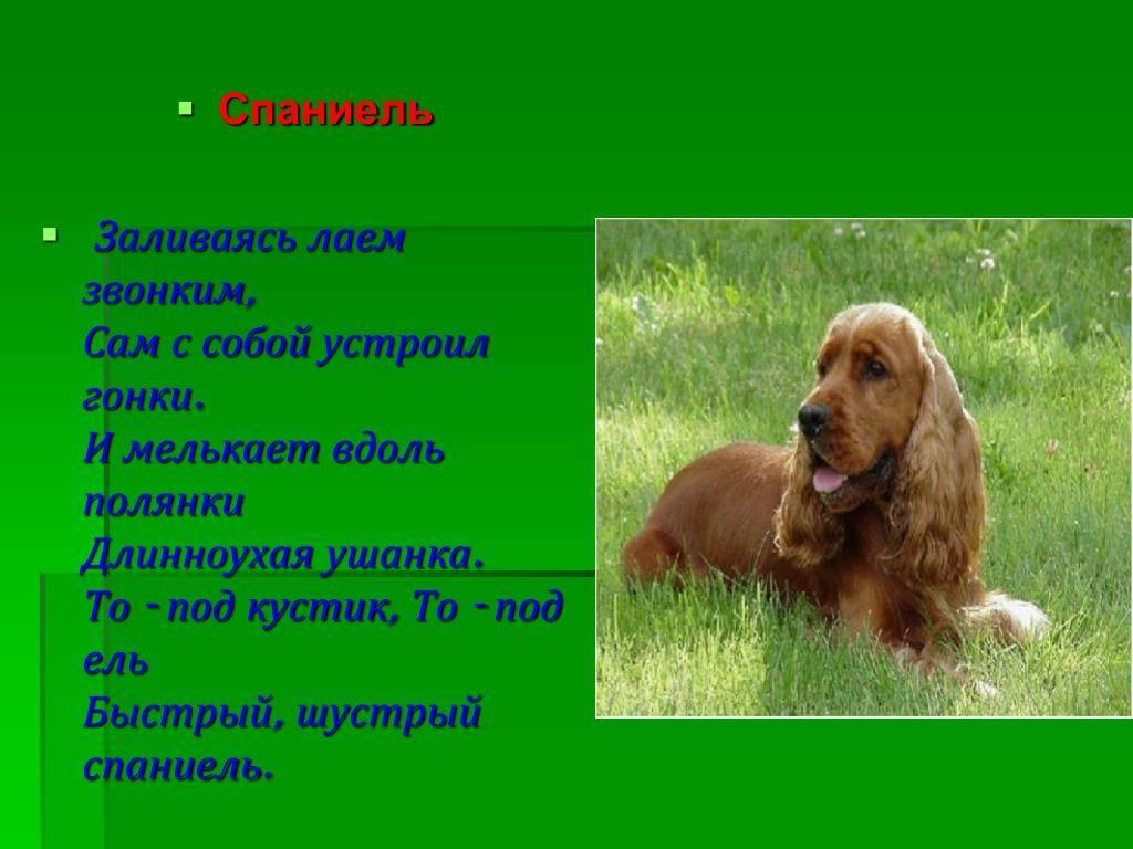 Русский охотничий спаниель: фото, купить, видео, цена, содержание дома