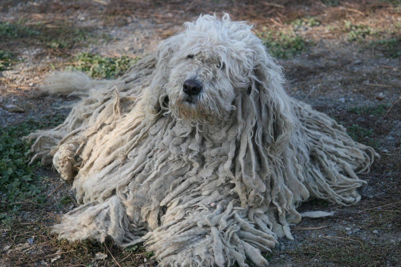 Характеристика собак породы комондор (венгерская овчарка) с отзывами и фото