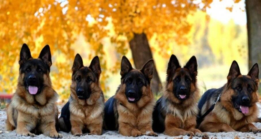 В каком возрасте брать щенка немецкой овчарки?
