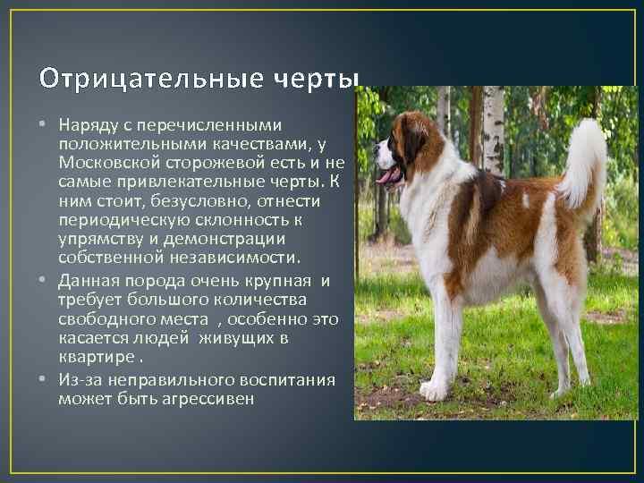 Московская сторожевая - описание и характер породы, выращивание щенков, дрессировка и питание