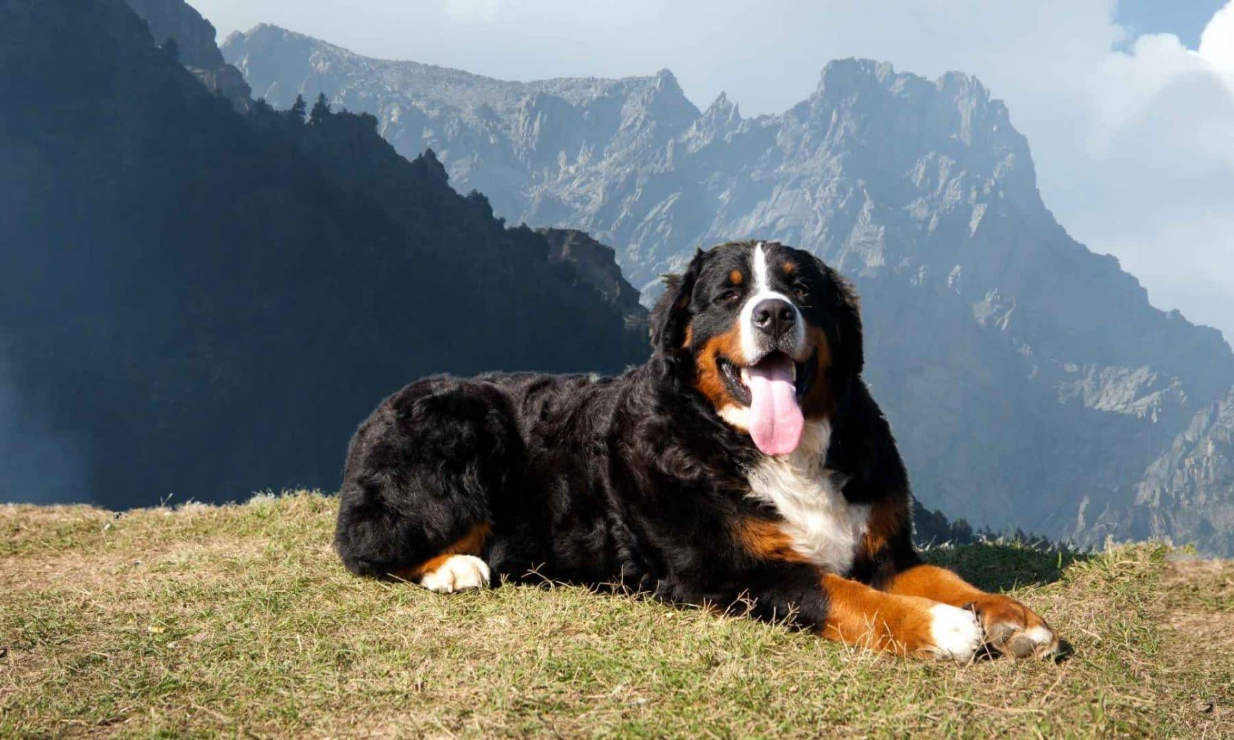 Зенненхунд. описание, особенности, цена и уход за зенненхундом   животный мир