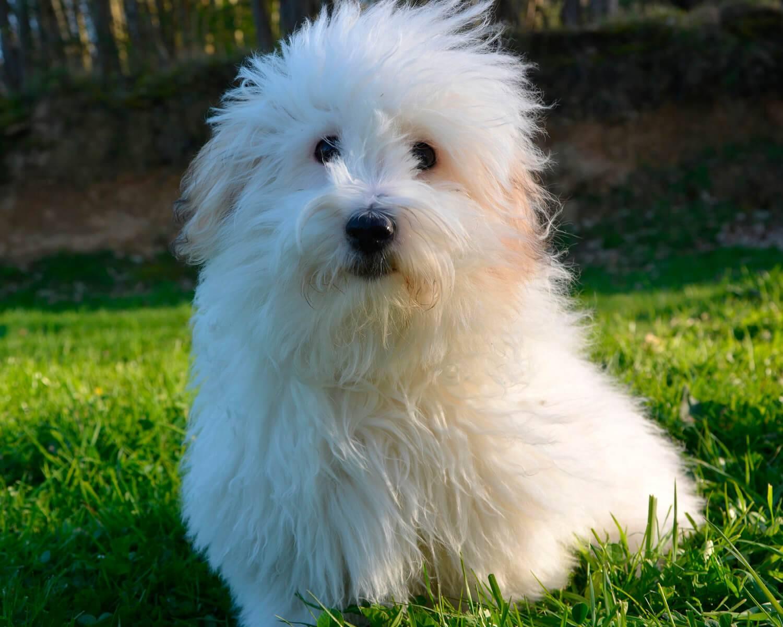 Котон де тулеар: описание породы собак, уход