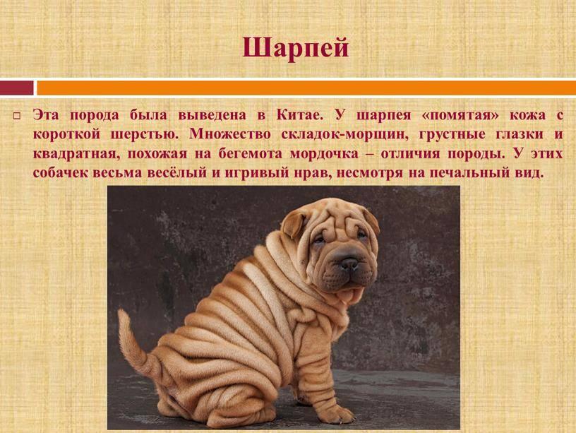 Шарпей - 87 фото самого милого сторожевого пса родом из китая