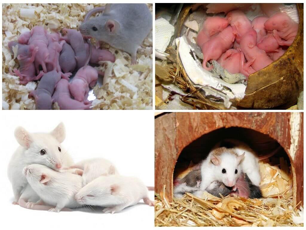 Сколько живут мыши. продолжительность жизни мыши