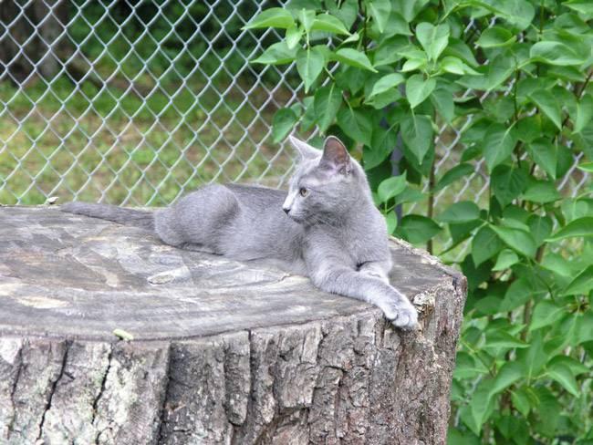 Питомники русских голубых кошек
