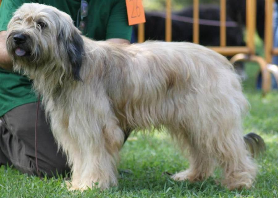 Каталонская овчарка (18 фото): описание породы, особенности характера. какие условия нужны для содержания собак?