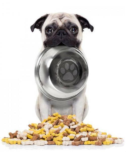 Чем кормить мопса: правильное питание, сухой корм, советы