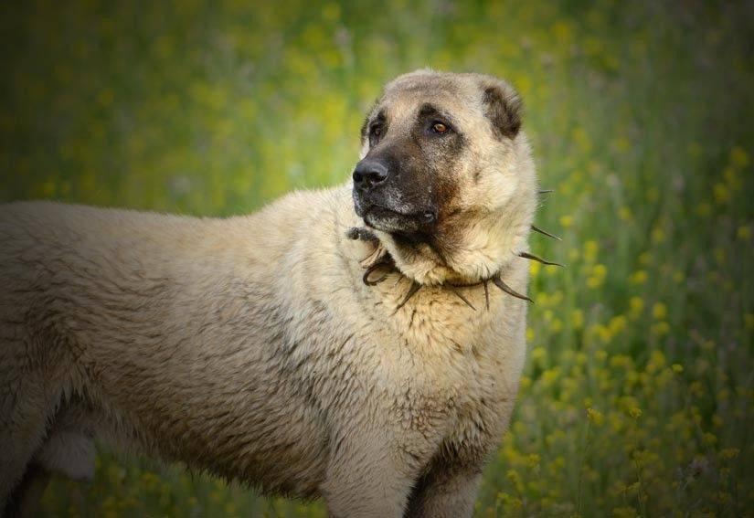 Подробное описание породы собак турецкий кангал