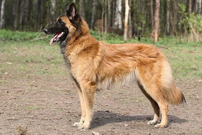 Тервюрен — подробное описание породы собак. фото, видео, отзывы, цена щенков, характер, уход, здоровье