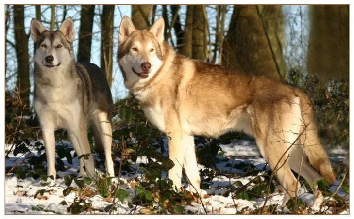 Волчья собака сарлоса: описание, характер, особенности и отзывы