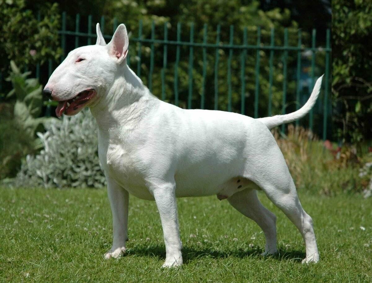 Бойцовские собаки: топ-10 популярных боевых пород, от крупных до маленьких, описание и воспитание